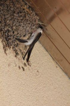 Jiřička obecná ajejí hnízdo smláďaty